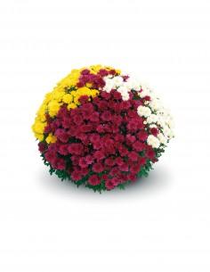 Chrysanthème Pomponette - 3L