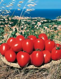 Tomate Reva F1
